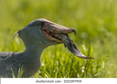 The majestic bird of the wetlands and an excellent fisherman is in typical green environment. It just caugh its prey - fish and prepering to eat it. The Shoebill, balaeniceps rex, Shoe-Billed Stork