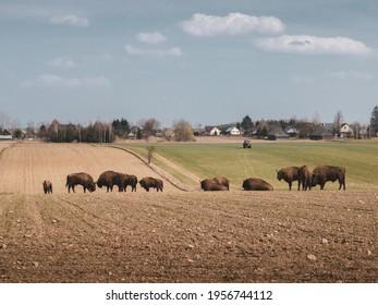 Majestic bison herd in Podlasie region