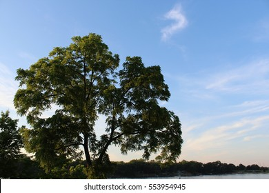 Majestic black walnut tree against a blue sky in Michigan on a late afternoon in summer. The Latin name for this deciduous tree is Juglans Nigra.