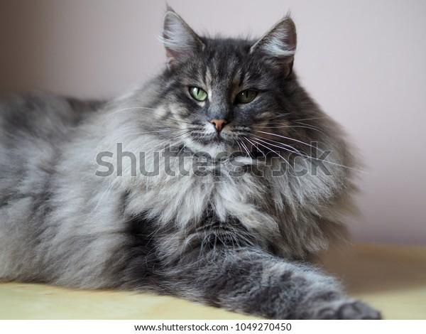 Majestic Blue Tabby Norwegian Forest Female Stock Photo Edit Now 1049270450