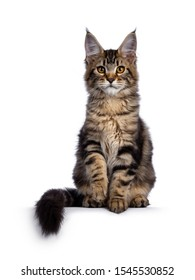 Majestic brown tabby Maine Coon cat girl, sitting facing front. Looking at camera with orange / golden One paw lifted.