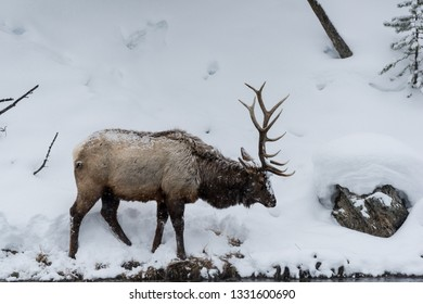 Majestic Bull elk (also known as Wapiti or Cervus canadens) grazing on the snow-covered bank of the Madison River in Yellowstone National park.