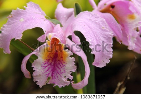 Majestic Cattleya Trianae Orchid Flower Endemic Stock Photo Edit