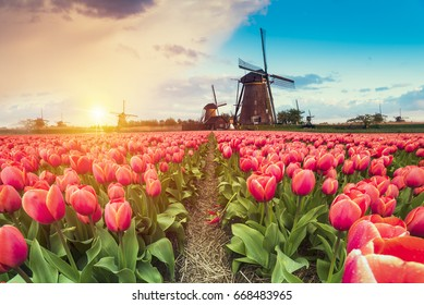 Majestic dawn over beautiful field of tulip flowers and windmill, traditional Holland landscape.