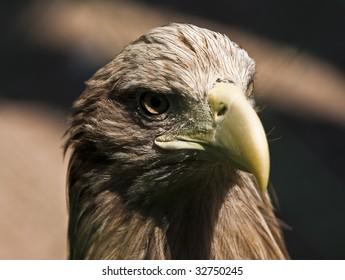 majestic eagle on black background