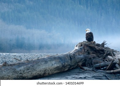 A majestic eagle perches on a fallen tree overlooking the foggy Squamish River in Southwestern British Columbia, Canada. The eagle is waiting for salmon to run the river on their annual spawn.