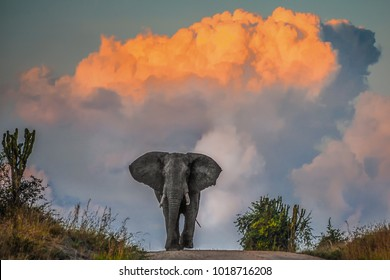 Majestic elephant in musth at sunset, Mweya Peninsula, Queen Elizabeth National Park, Uganda