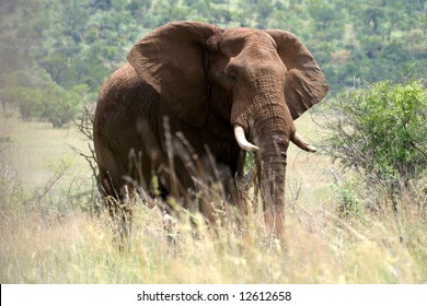 Majestic elephant in the Pilanesberg Reserve near Sun City (South Africa)