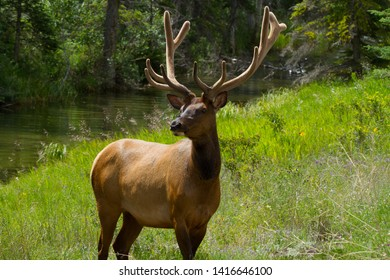 Majestic Elk Posing for a Shot in Banff , Jasper area of the Canadian Rockies