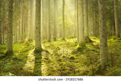 Majestic evergreen forest at sunrise. Mighty pine trees, moss, green plants. Morning fog, pure sunlight, sunbeams. Idyllic landscape. Nature, seasons, summer. Fairytale, fantasy concepts