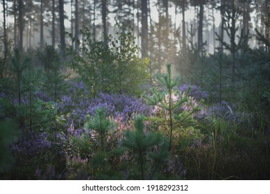 Majestic evergreen pine forest in a fog at sunrise. Blooming purple heather flowers, young spruce trees close-up. Soft sunlight, sun rays. Picturesque scenery. Nature, environmental conservation