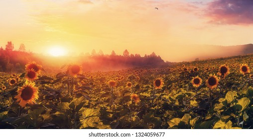 Majestic Foggy Morning. Fantastic Rural Landscape. Colorful Sky Glowing in Sunlight over the Sunflower Field under Sunshine. Amazing Nature scenery. Creative Image