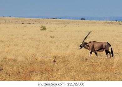 Majestic gemsbok, gemsbuck or oryx walking in Namib Desert Namibia Africa. Long horn big antelope.