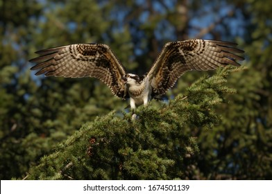 A majestic Golden Osprey calls for it's mate while sitting on a tree branch with wings outstretched.