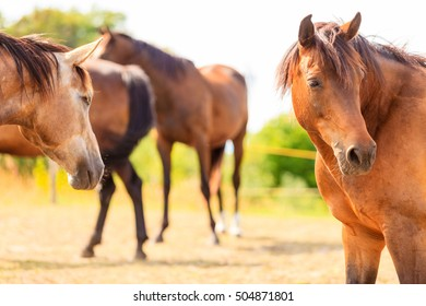 Majestic graceful brown horses in meadow field. Tranquil countryside scene.