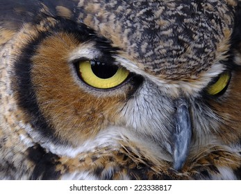 Majestic Great Horned Owl's piercing yellow eyed stare