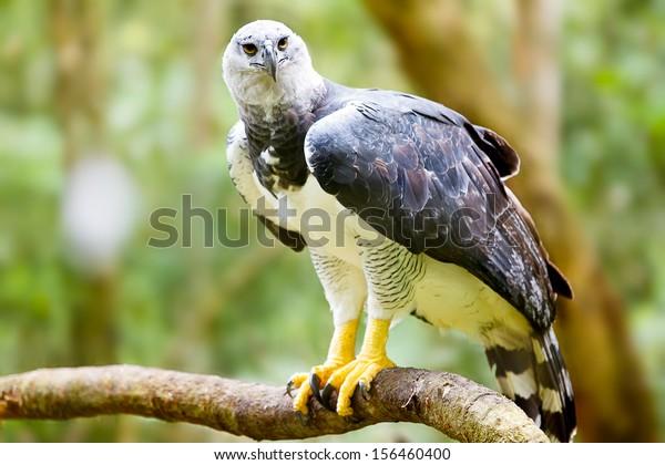 Majestic Harpy Eagle en la selva tropical en Brasil. Bokek verde en el fondo.