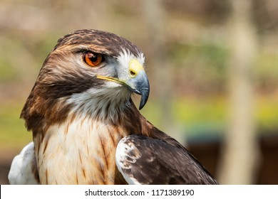 Majestic Hawk close up. Detail of the eye and iris while scouting his hunting grounds.
