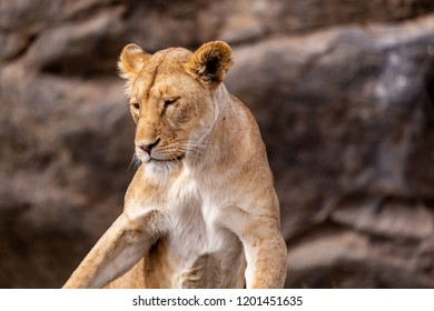 A majestic lady lion relaxing in the Serengeti National Park in Tanzania