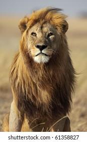 Majestic lion male with golden mane, Serengeti, Tanzania
