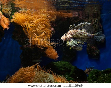 Majestic lionfish (Pterois) in an aquarium with orange anemones