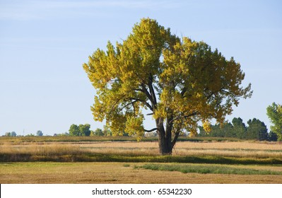 Majestic lone big cottonwood tree with autumn colors, in a field on the Colorado prairie.