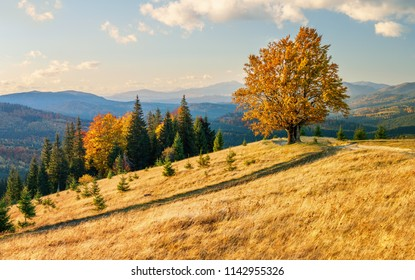 Majestic lonely beech tree on a hill of mountain in the autumn landscape.
