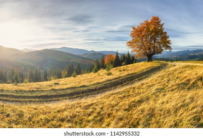 Majestic lonely beech tree on a hill of mountain in the autumn landscape at sunset.