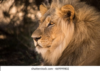 a majestic looking male lion with big mane is staring in profile.