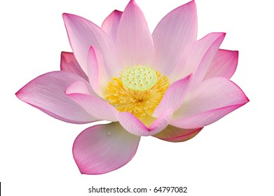 Majestic Lotus flower isolated on white background.
