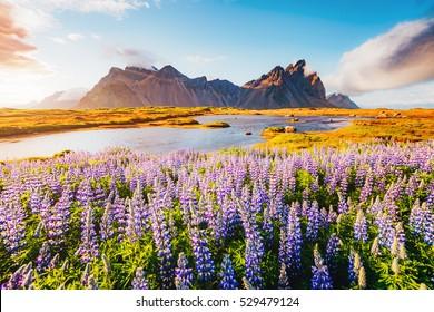 Majestic lupine flowers glowing by sunlight. Gorgeous scene. Location famous place Stokksnes cape, Vestrahorn (Batman Mount), Iceland, Europe. Beauty world. Instagram toning effect. Soft filter.