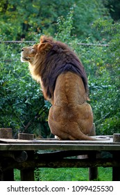 Majestic male lion enjoying the last sun rays during golden hour.