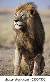 Majestic male lion with large golden mane gazing into the horizon, Serengeti National Park, Tanzania, East Africa