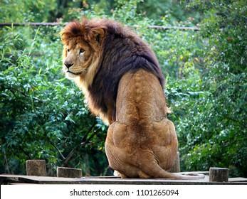 Majestic male lion looking back