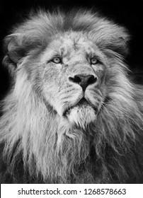 majestic male lion portrait in black and white