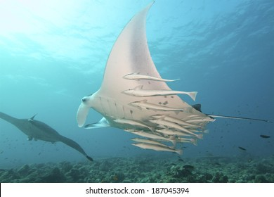 Majestic Mantas flies through the water