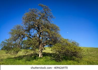 majestic oak on lush prairie hill frames moon on blue sky