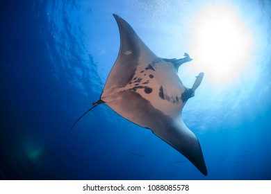Majestic Oceanic Manta Ray swimming in a clear, blue ocean