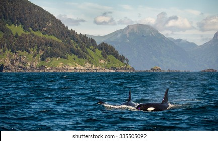 Majestic Orca Whales in the Gulf of Alaska.
