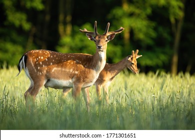 Majestic pair of fallow deer, dama dama, stags standing on meadow in the summer. Dominant animals with antlers in velvet observing on hay field from side view.
