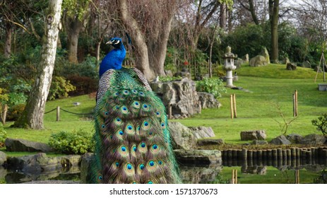Majestic peacock against the backdrop of Holland Park's Kyoto Gardens