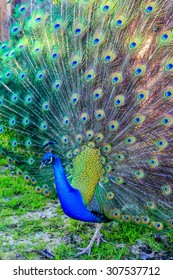 A majestic peacock presenting it's tail feathers in the park.