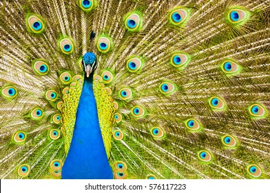 majestic peacock with unfolded  tail, poses for photos, looks into the camera - close to the head and tail feathers - background with striped tail