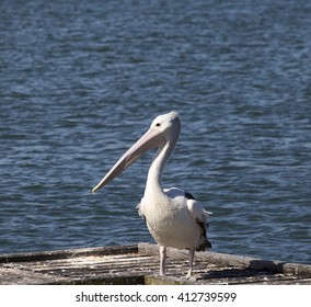 A majestic pelican  pelecanidae species pelecaniformes standing  on  a little wooden  jetty   on a fine summer afternoon   at Leschenault Estuary, Bunbury, Western Australia.