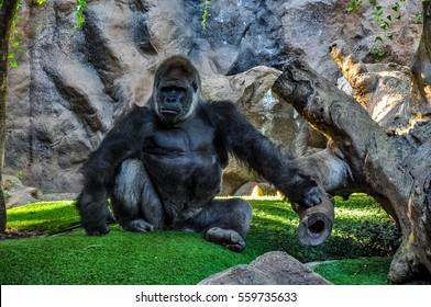 Majestic, pensive gorilla in a zoo
