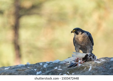 majestic peregrine falcon perched on rocks with prey