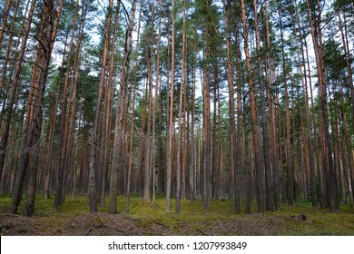 The majestic pine forest is one of the famous landscapes of Belovezhskaya Pushcha