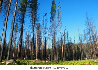Majestic pines, some recovering from wildfire, standing out in an immaculate blue sky in Eastern California, around Yosemite National Park.