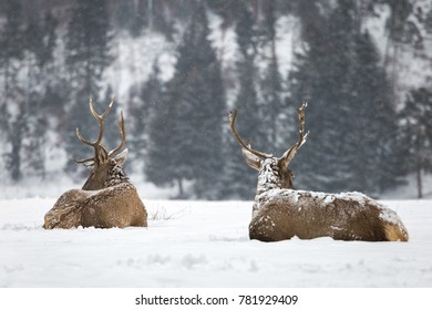 majestic powerful adult red deers  in winter forest.