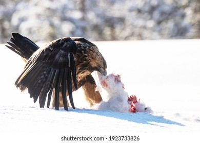 Majestic predator Golden eagle, Aquila chrysaetos, feeding on a Mountain hare carcass during a cold and harsh winter day near Kuusamo, Northern Finland.